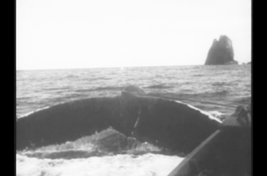 Whale attached to whaleboat. The whale's tail is really close. This is a very dangerous position! The tail can smash the boat, and the men in it. Part of Piercy Island is shown. Photo: Stacy Woodard 1933.