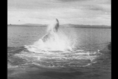 Harpooned whale diving. Note the two whale-lines, attached to the whale and to the boat on right of photo. Would you want to be in the whaleboat?       Photo: Stacy Woodard 1933