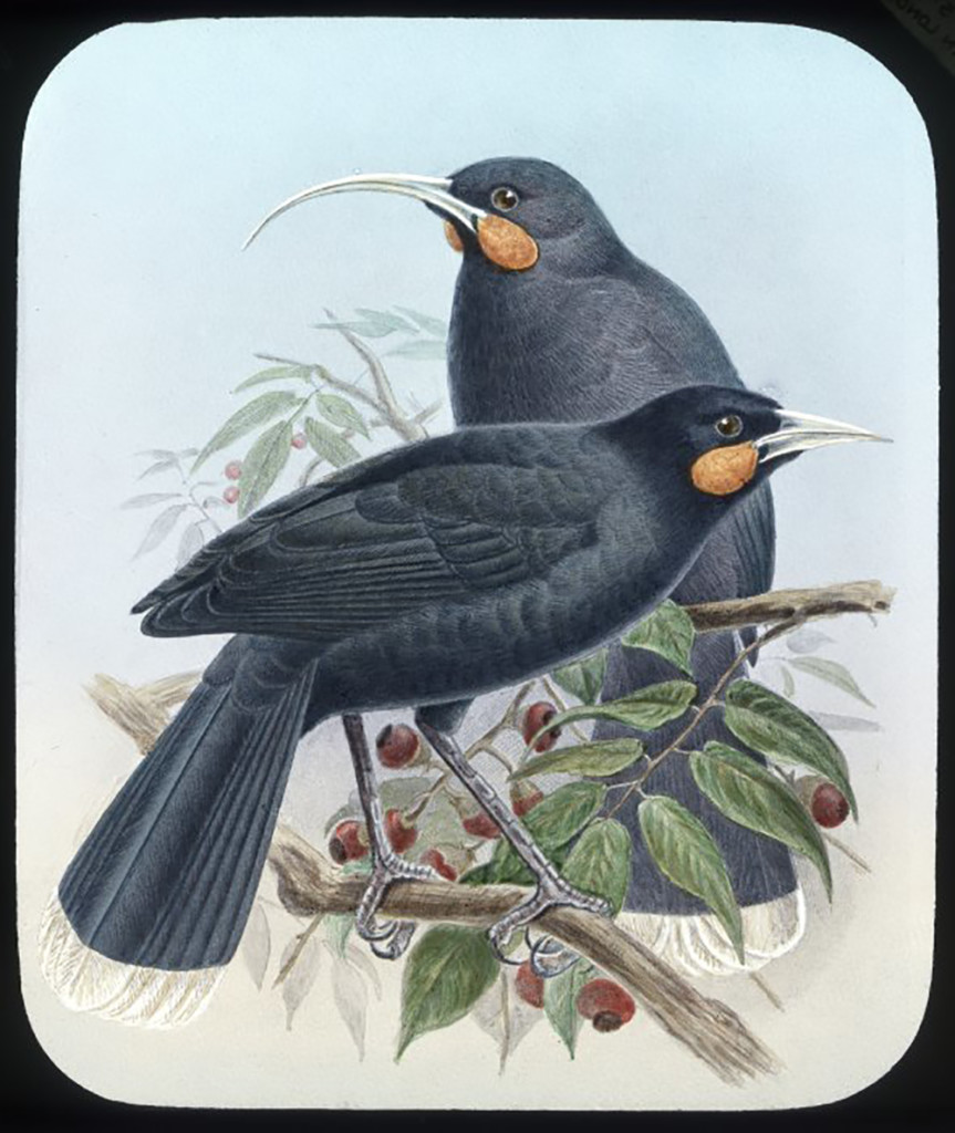 Huia birds, male and female. Harris, Esme, fl 1980-1981 : Photographs. Ref: PA11-046-11. Alexander Turnbull Library, Wellington, New Zealand. http://natlib.govt.nz/records/23081750